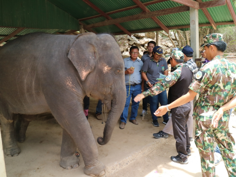 Phraya Suea Taskforce officers inspect an elephant at Hua Hin Zoo yesterday on suspicion it is not covered by the zoo's wild-animal licences