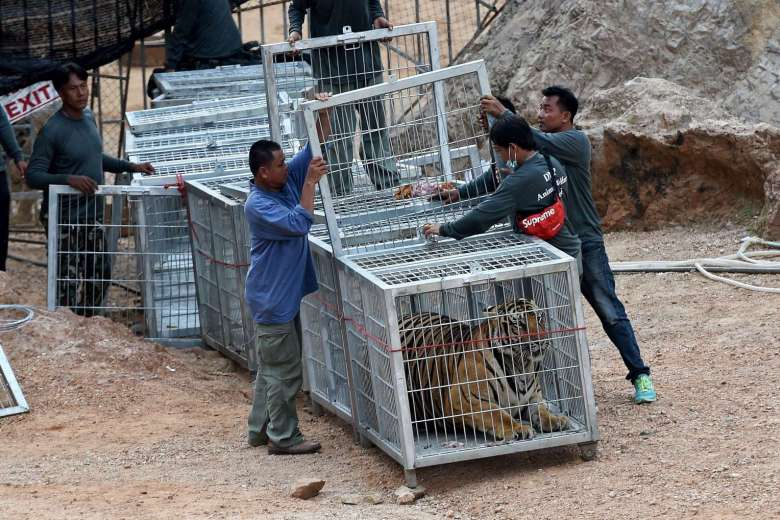 A week-long operation to remove nearly 140 tigers from a temple in Thailand has finished, officials said.