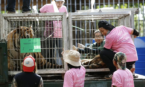 Vets check a tiger after it was tranquilised to be moved from what they believe was a slaughter house and tiger holding facility used as part of the temple's suspected trafficking network.
