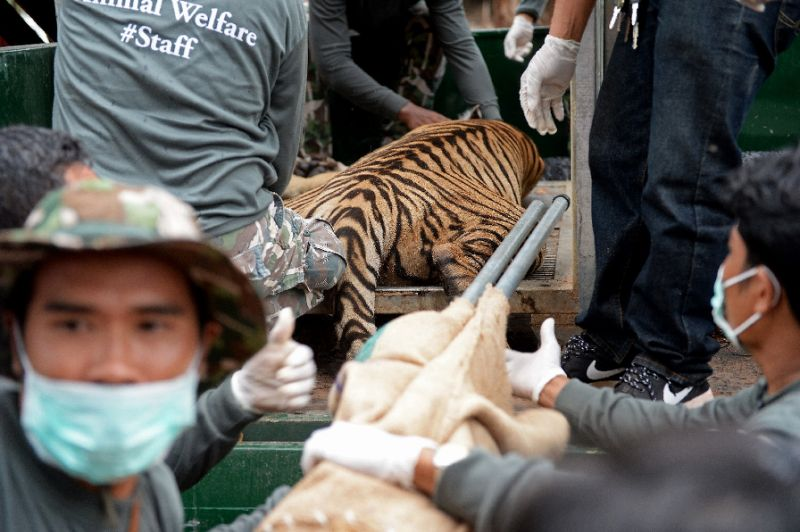 The last tiger was removed from the temple and will be relocated to wildlife reserve.