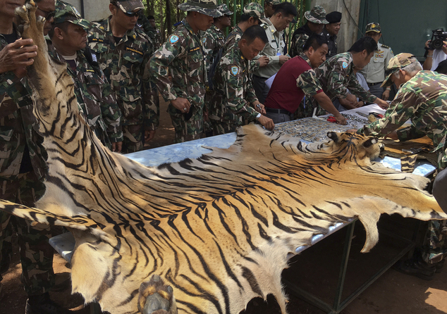 "National Parks and Wildlife officers examine the skin of a tiger at the ""Tiger Temple,"" in Saiyok district in Kanchanaburi province."