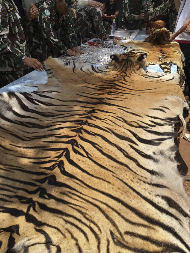 "National Parks and Wildlife officers examine the skin of a tiger at the ""Tiger Temple,"" in Saiyok district in Kanchanaburi province, west of Bangkok, Thailand, Thursday, June 2, 2016. Thai police say they stopped a truck carrying two tiger skins and other animal parts as it was leaving the temple, two staff members were arrested and charged with possession of illegal wildlife. (AP Photo) THAILAND OUT"
