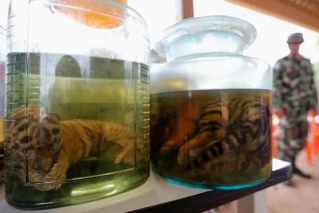 Tiger cub carcasses are seen in jars containing liquid, June 3, 2016. REUTERS/Chaiwat Subprasom