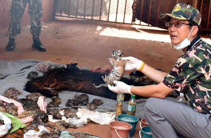 40 Dead Tiger Cubs Found in a Freezer at the Infamous Tiger Temple
