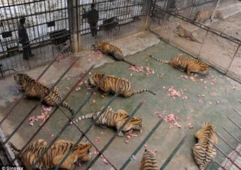 The number of tigers for the past nine years has increased from 940 to over 1,400 raising suspicion that about 90 percent of the tiger farms