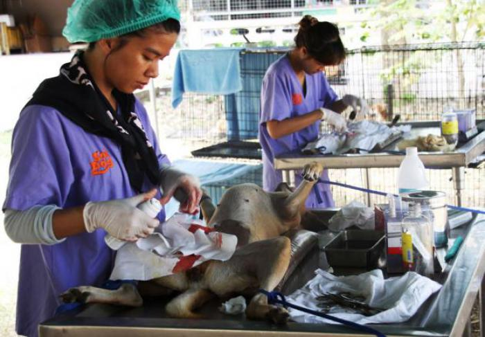 In 2013, the Soi Dog Foundation sterilized a record number of 13,568 dogs and cats in Thailand including 8,876 dogs in Phuket alone. Photo: The Nation