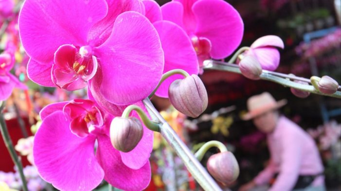 1,099 Wild Orchids to Returned to Nature in Chiang Rai to Honor of HM the Queen