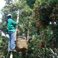 Mr. Chan protects his longan orchard from fruit flies with natural methods that costs him less than 500 baht