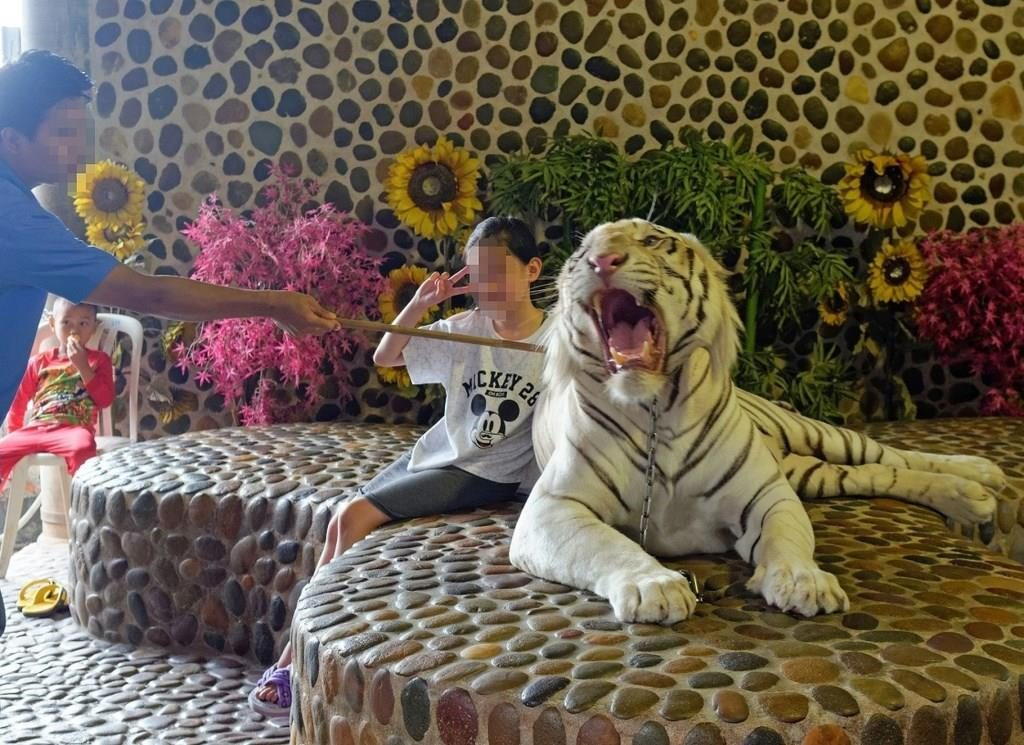 A young tourist poses for a photo with an albino tiger in Thailand