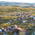 More than 300 wild reindeer killed by lighting in Hardangervidda,  central Norway.