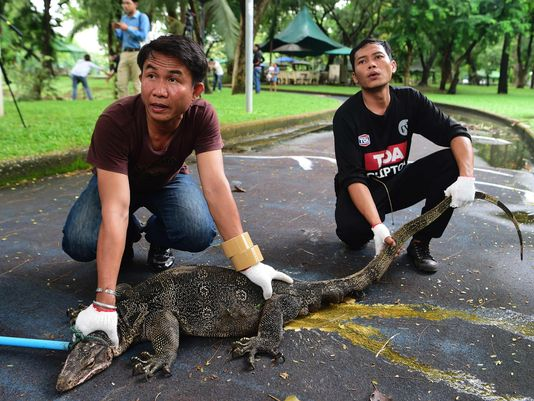 Wildlife Officials Relocate Large Monitor Lizards from Bangkok's Lumphini Park