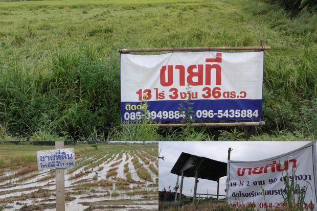 For sale' signs are seen on several plots in Chai Nat province, on Friday after rice prices plunge to record low levels for an extended period. (Photos by Chudate Seehawong)