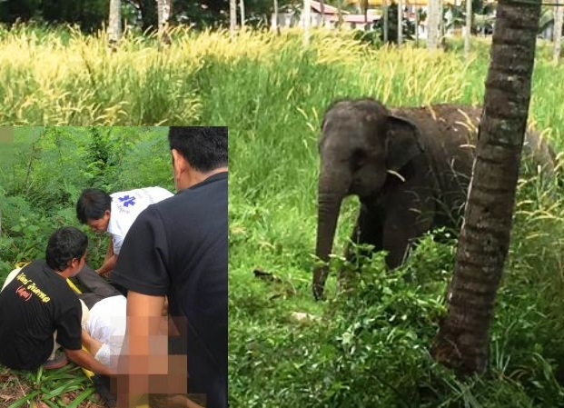 Young Elephant Attacks Australian Tourist in Phuket
