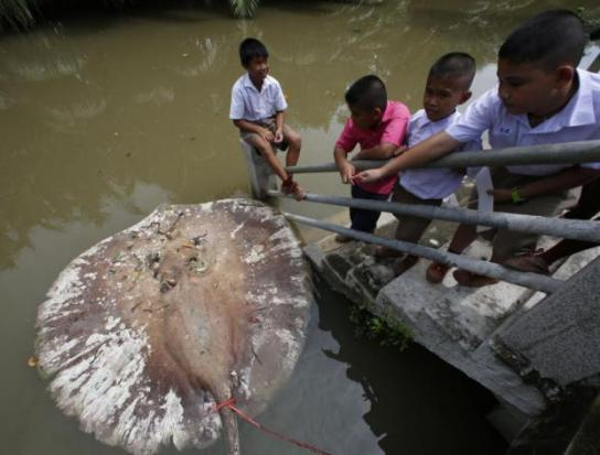 Up to 70 Giant Freshwater Stingrays Found Dead in Mae Klong River