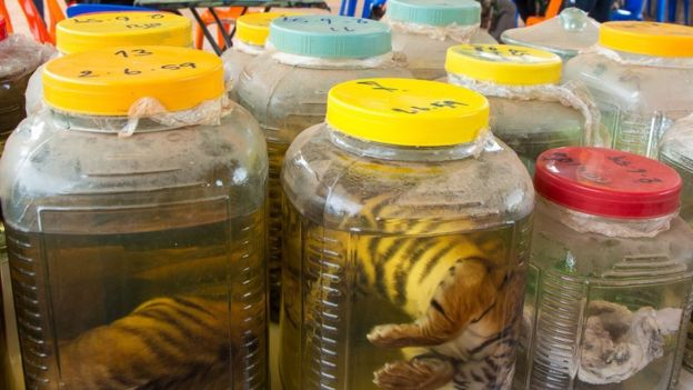 Dead tiger cubs in jars were found at the tiger temple by Thailand's Department of National Park officials.