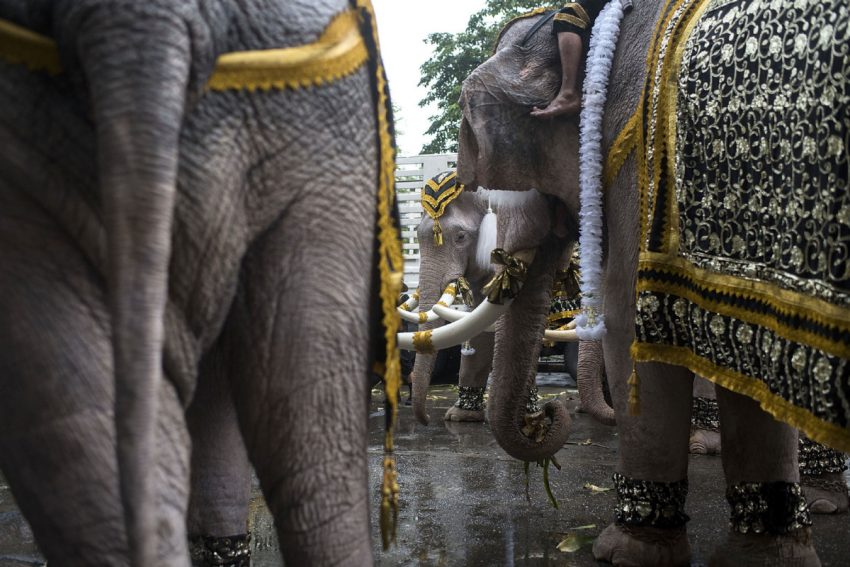 In Thailand, the white elephant is regarded as sacred and a symbol of royal power, according to the Thai Elephant Conservation Center.  (Borja Sanchez Trillo)