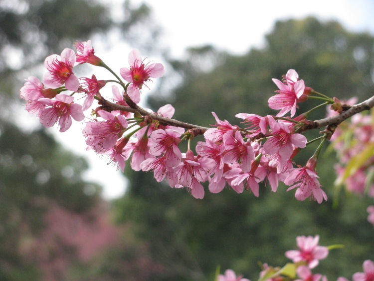 The Japanese people regard sakura as a highly valued flower as they will fully bloom for only a week throughout a year.