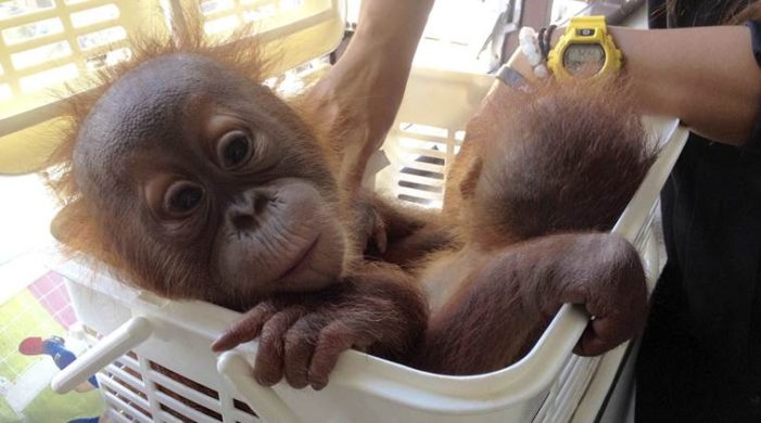 Two Baby Orangutans Rescued from Wildlife Traffickers in Bangkok