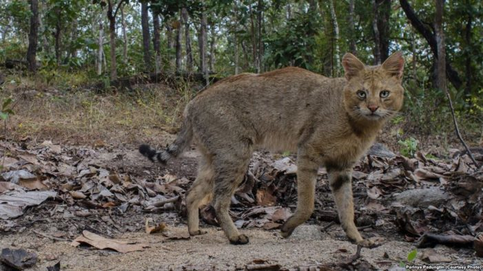 Rare Jungle Cats Sighted in Chiang Mai Omkoi Wildlife Sanctuary