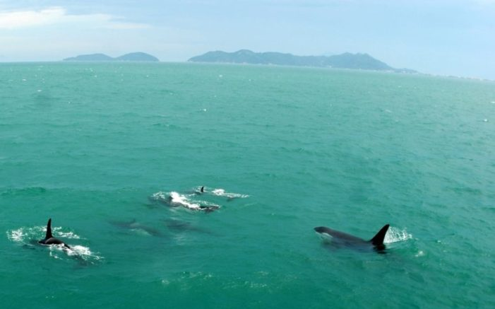 Pod of Killer Whales Spotted off Similan Islands in Phang Nga, Thailand