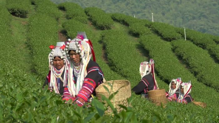 Secrets of Tea Plant Revealed by Science