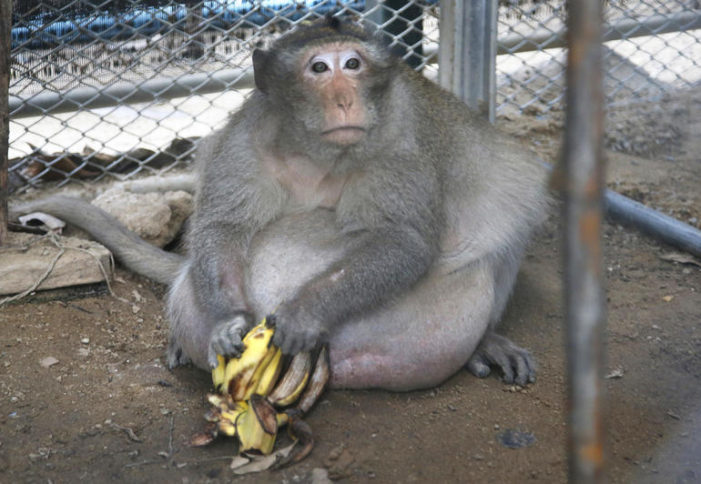 """Uncle Fat, Morbidly Obese monkey in Bangkok, Put on Strict """"No-Junk-Food Diet"""""""