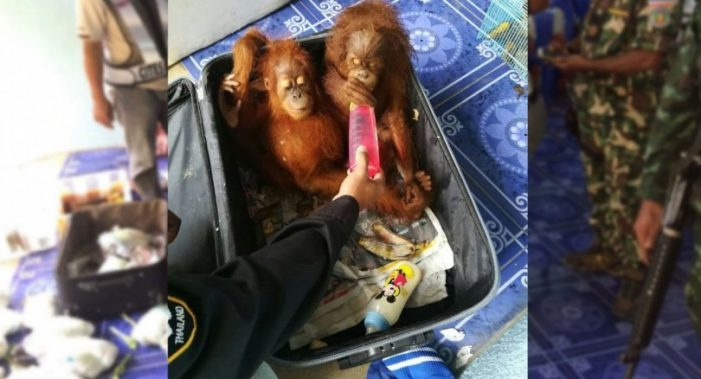 Malaysian Man Arrested for Attempting to Smuggle Two Baby Orangutans into Thailand