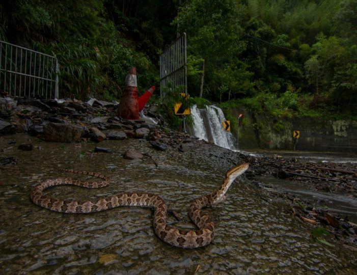 Venomous Brown Spotted Pit Viper Snake Found in Northern Thailand