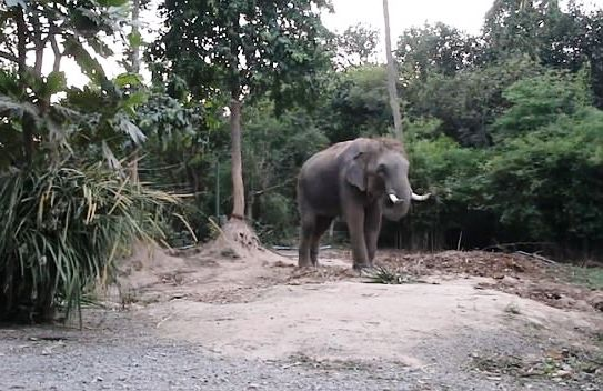 Bull Elephant Stomps Chinese Tour Guide to Death in Rampage after Tourists Pulls It's Tail