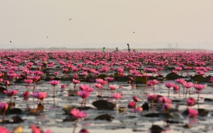Thai Lake Draws Tourists with Spectacular Lotus Bloom the Red Lotus Sea