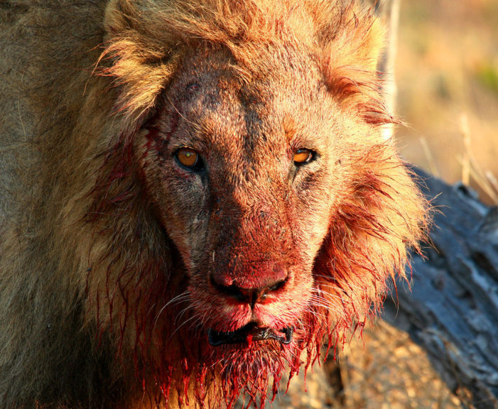 Suspected Poacher Killed and Eaten by Lion in South Africa