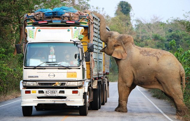 Elephant With a Sweet Tooth Causes Traffic Jam in Central Thailand Hunting for Sugar Cane