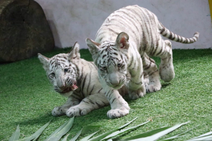 Chiang Mai Zoo Introduces Three White Tiger Cubs Ahead of Chinese New Year