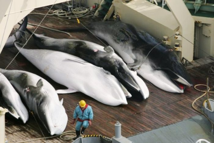 """Japanese Whaling Vessels Return to Japan after Murdering Over 300 Whales for """"Scientific Research"""""""