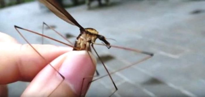 "World's ""Biggest Mosquito"" Found in Qingcheng Mountains in Southwest China"