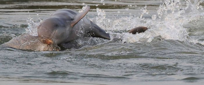 Critically Endangered Mekong River Irrawaddy Dolphins Showing Signs of a Comeback