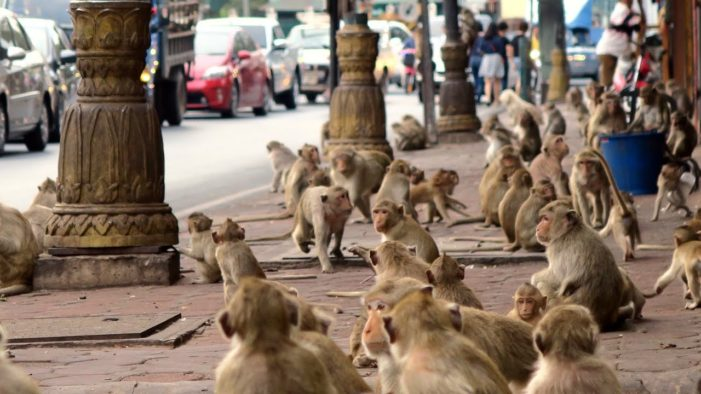 Phuket's Growing Monkey Population Becoming Menace to Residents and Tourists