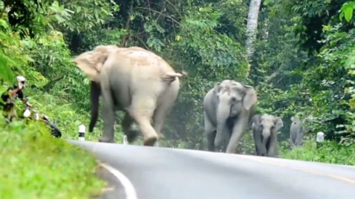Wild Elephants Trample Motorcyclist to Death in Southern Thailand