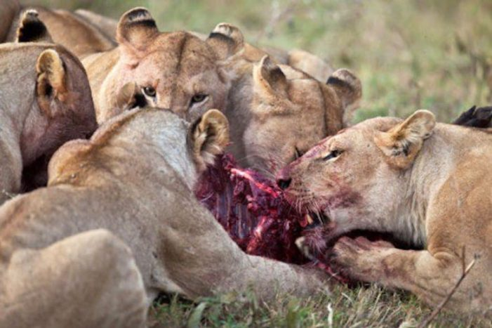 Rhino Poachers Killed and Eaten by Lions in South Africa