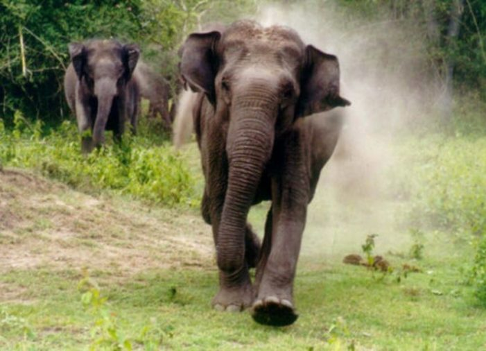 Elephant Tramples Wildlife Sanctuary Officer to Death in Northeastern Thailand