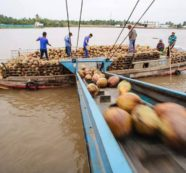 Imports Blamed for the Falling Price of Coconuts in Thailand