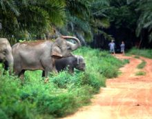 Man Trampled to Death by Wild Elephants in Western Thailand