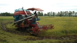 A Chiang Rai Farmer Commence Rice Harvest, Government Predicts High Prices