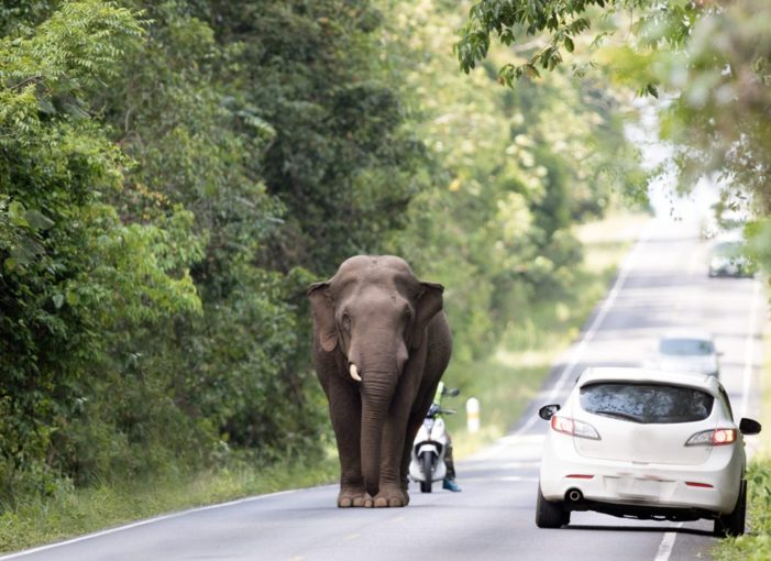 Elephant Stomps Driver to Death in Thailand's Khao Yai National Park