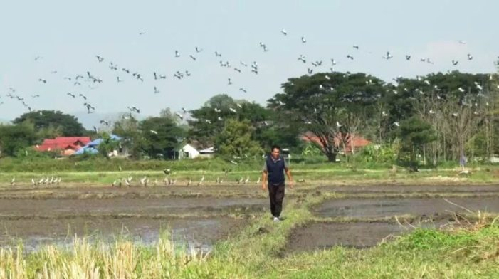 Over 10,000 Asian Openbill Storks Migrate to Northern Thailand