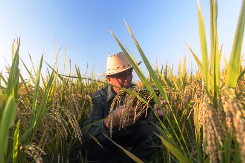 Thailand's Farmers Applaud the Shelving of Controversial Rice Bill
