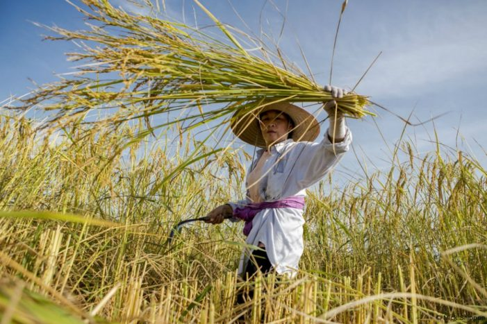 Thai Farmers Raise Concerns Over Junta Rice Bill That Would Ban Non-Certified Paddy Seeds