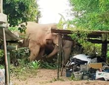 Wild Elephants Attack Village Destroying Houses and Plantations in Northeastern Thailand