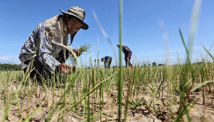 Rice Farmers in North, Northeast Thailand Face Worst Drought in 40 Years
