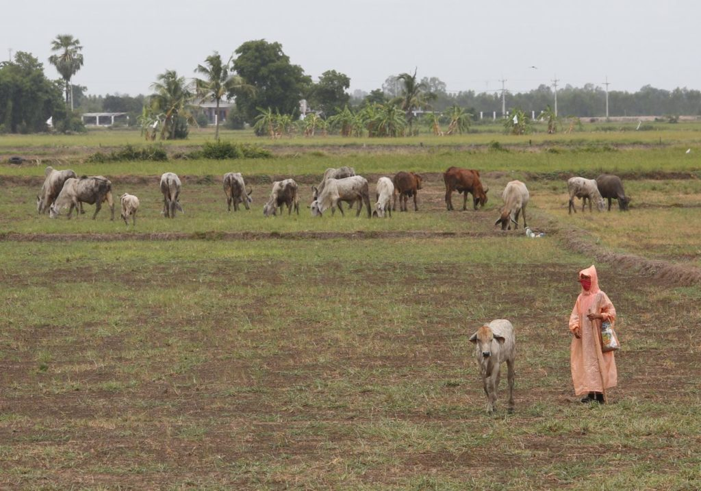 Drought Devastating Rice Crops in North and Northeast of Thailand